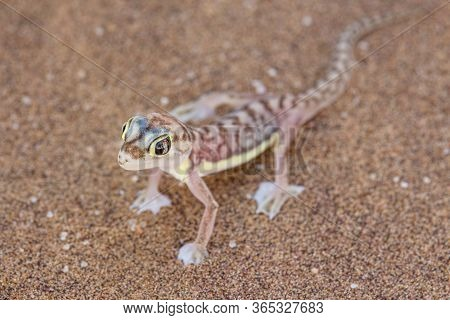 Web-footed Gecko (palmatogecko Rangei). Nocturnal Animals That Live Mostly Nestled In Deep Burrows