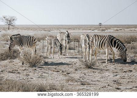 Many Individual Burchell's Zebra (equus Quagga Burchellii), Grazing On Stony Ground, Etosha National