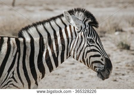 Close Up Portrait Of One Burchell's Zebra (equus Quagga Burchellii), Walking On Stony Ground, Etosha