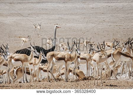 A Lone Ostrich Stands Out Of A Herd Of Springbok As The Odd One Out In The Picture. Etosha National