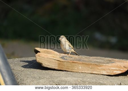 Female Sparrow Bird Sitting On The Rock, A Sparrow Sitting On Rock, Close Up Of Sparrow Bird, Sparro