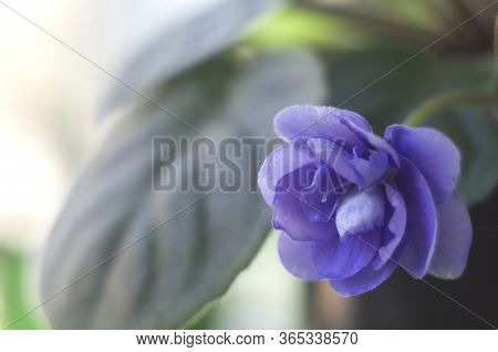 Blooming Violet With Figured Petals In A Pot. Plants For Home Hobbies. Macro Photo.