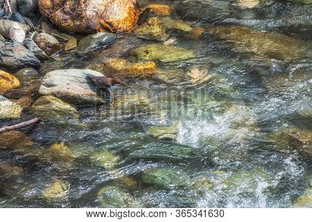 The White-throated Dipper In Nature. Little White-throated Dipper Bird Hunts On The Banks Of A Fast