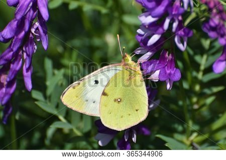 Pale Clouded Yellow Butterfly. Colias Hyale, The Pale Clouded Yellow Butterfly Feeding On Meadow