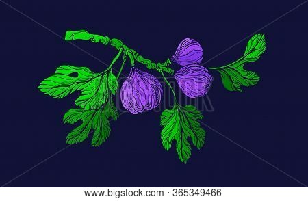 Fig Color Tree. Vector Green Branch, Fresh Fruit, Foliage. Botanical Texture Shape, Hand Drawn Engra