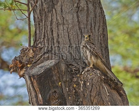 Wild Female Common Kestrel Perched On The Trunk Of A Tree Hunting For Food