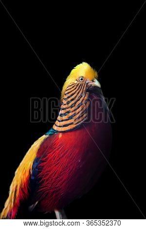 Golden Pheasant bird against black background
