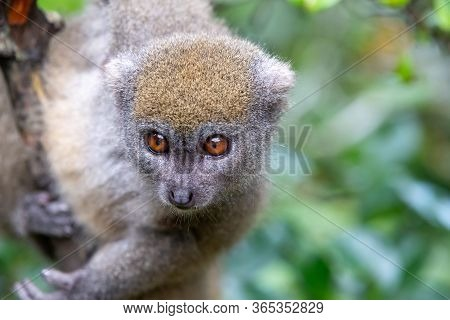 One Little Lemur On The Branch Of A Tree In The Rainforest