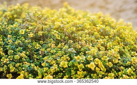 Yellow Bush Of Lemon Thyme. Thymus Citriodorus. Perennial Herb With A Characteristic Lemon Scent Of