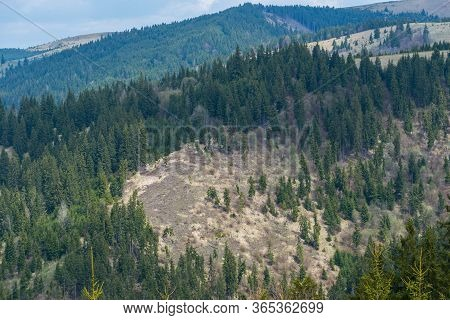 Huge Deforestated Areas In The Pine Woods In Transylvania, Romania,  Carpathian Mountains.