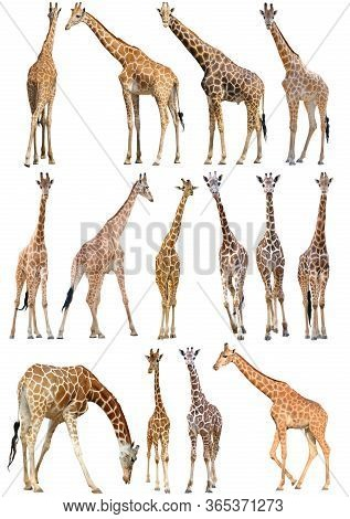Adult And Young Giraffe Isolated On White Background