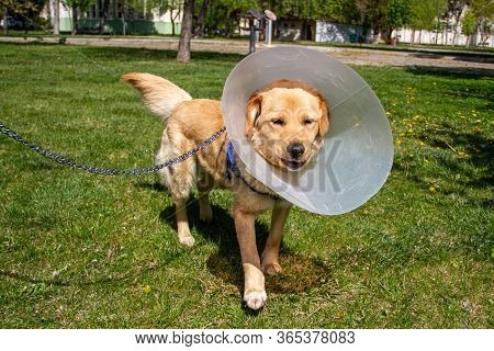 Golden Retriever With Cone Collar In Park