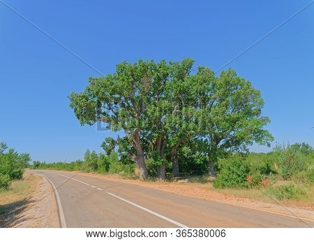 Big Old Oak Tree Near The Asphalt Road In The Dalmatian Hinterland In Promina County At Dalmatian Za