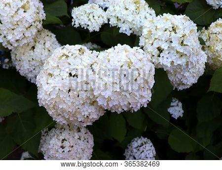 White Hydrangea In The Garden. Bouquet Of Hydrangea. Bush Of Beautiful Blooming Hydrangea Flower.