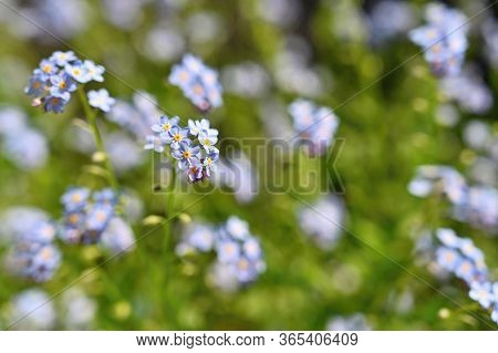 Beautiful Blue Small Flowers - Forget-me-not Flower. Spring Colorful Nature Background. (myosotis Sy