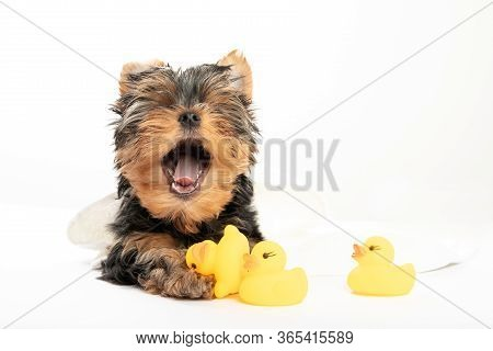 Bathing A Little Puppy. Yorkshire Terrier Puppy In A Towel With A Rubber Duck. Cute Puppy Yawns. Sle