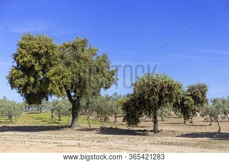 Olives, Cork Oaks And Holm Oaks In The Northern Part Of Extremaduran Plateau. Typical Landscape Of T