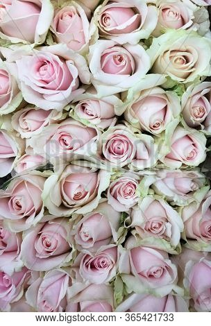 A huge bouquet of pink roses. pink roses background. pink roses seamless pattern