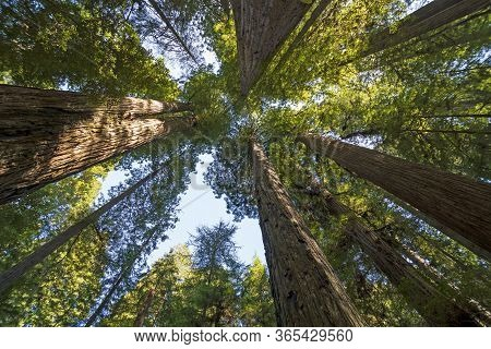 Amidst The Redwood Towers In Redwood National Park In California