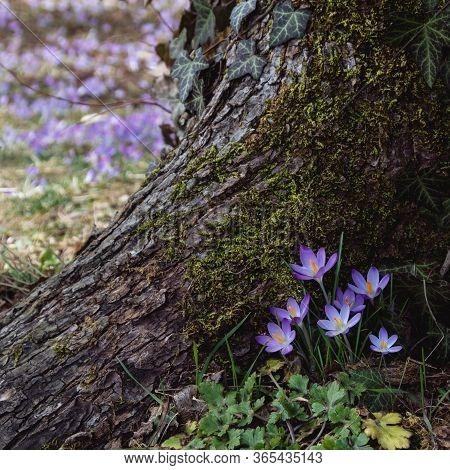 Spring Flowers. Beautiful Crocus Flowers (crocus Vernus)  At Foot Of Old Tree. Montenegro, Cetinje