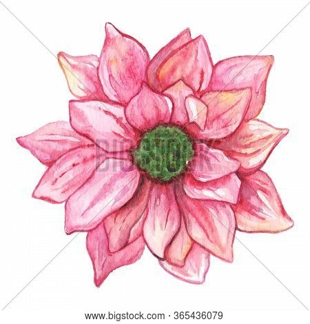Watercolor Pink Chrysanthemum Flower Isolated Clip Art