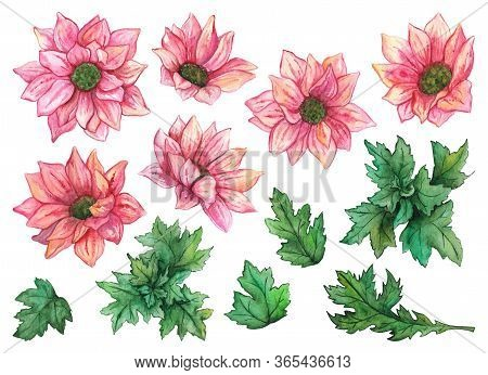 Watercolor Pink Chrysanthemum Flowers And Green Leaves Set Composition Isolated Clip Art