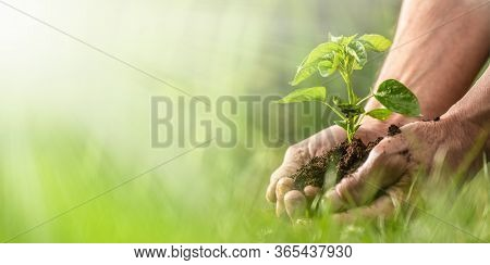 Hands Of An Old Man Holding A Palm Full Of Soil And Seedlings Right Before Putting Them Into The Soi