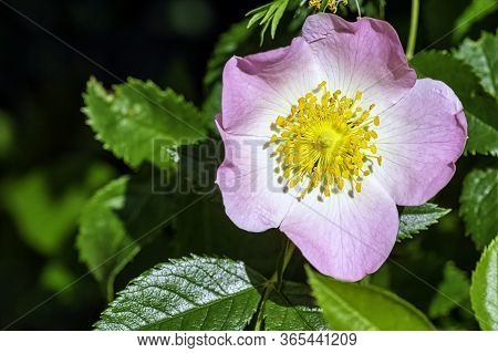 Rosa Canina, Commonly Known As The Dog Rose - A Variable Climbing, Wild Rose Species