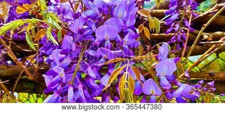 Wisteria Plant In Bloom In Contrast Against The Green Of Spring Vegetation In Italy