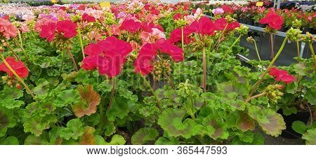 Bright Green And Purple And Fuchsia Colored Geranium Flowering Plants In A Greenhouse Garden