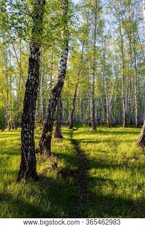 A Path In A Birch Forest In A Bright And Warm Light. Magic Birch Forest In Hdr Quality