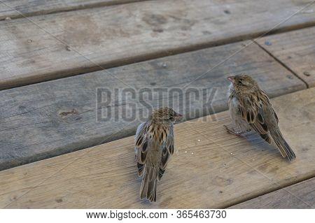 Two Brown House Sparrow Birds Sitting On A Wooden Floor. Urban Birds