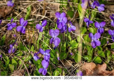 Wild Flowers Of Viola Odorata (wood Violet, Sweet Violet, English Violet, Common Violet) In April