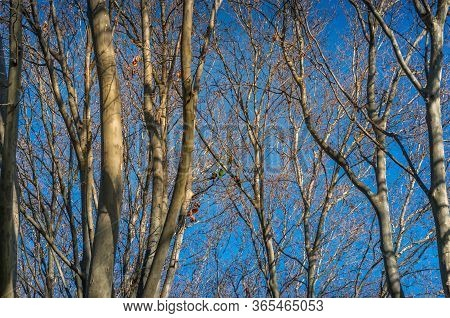 Tree With Bare Leafless Branches. Winter Deciduous Forest With Trees Without Leaves Nature Backgroun
