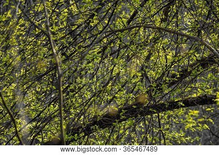 Bright Green Foliage On A Gray Ambient Background. The Beginning Of Spring Vegetation Of Trees