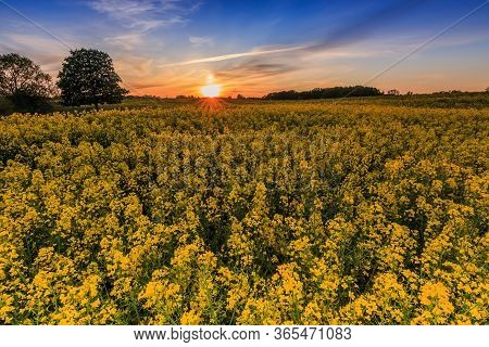 Rape Field In Spring In Germany In The Evening. Yellow Rape Flowers At Sunset. Trees And Shrubs In T