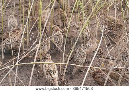 Many Female Common Pheasants On The Bird Breeding Farm Hiding In The High Grass Or Plants. All Birds