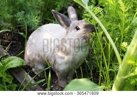 Beautiful Rabbit In The Green Garden In Summer Day. A Grey Rabbit Sitting In The Dill.