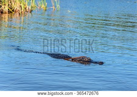 American Alligator Swimming In Everglades National Park, Florida Wetland, Usa