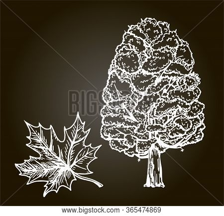 Maple Tree Sketch On A Black Background. Hand Drawn Vector Illustration. Retro Style. Sketch.