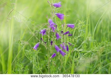 Meadow Grasses, Green Summer Lawn With Bright Blooming Purple Campanula Flowers. Flowery Background.
