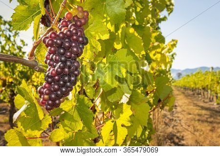 Bunch Of Pinot Noir Grapes Growing In Vineyard At Harvest Time With Blue Sky And Copy Space