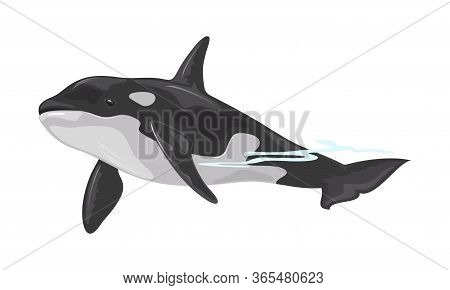 Killer Whale Or Orca Is Toothed Animal With Black Back Belonging To Oceanic Dolphin Family. Some Pop