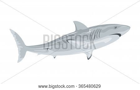 Great White Shark Is Toothed Predatory Animal Having Grey Dorsal Area And Robust, Large, Conical Sno