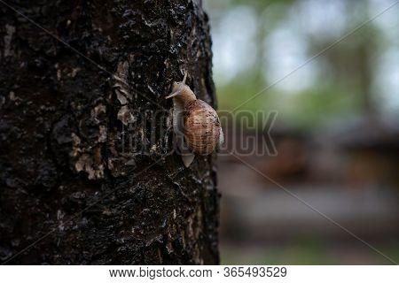Garden Snail On Tree Bark In The Rain. Helix Pomatia, Common Names The Roman Snail, Burgundy Snail,