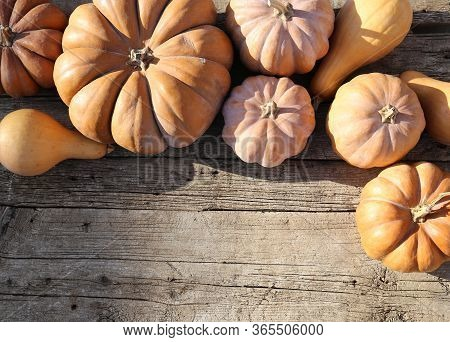 Harvesting In The Fall On A Farm . Halloween Preparations Copy Space. Squash In The Sun. Ripe Emboss
