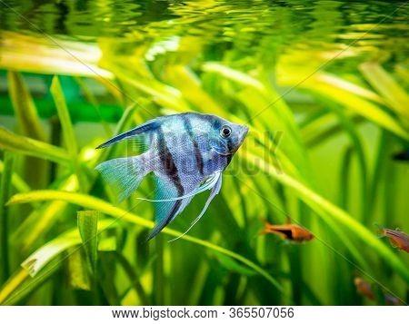 Zebra Angelfish In Tank Fish With Blurred Background (pterophyllum Scalare)