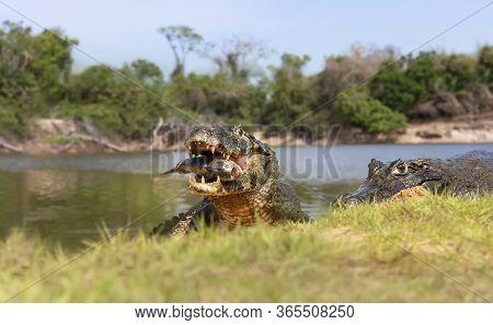 Close Up Of A Yacare Caimans (caiman Yacare) Eating Piranha On The River Bank, South Pantanal, Brazi