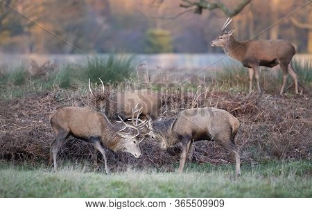 Group Of Red Deer Stags In The Grass Field During Rutting Season In Uk.
