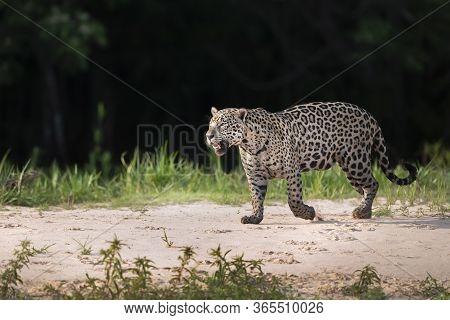 Close Up Of A Jaguar Walking On Sand Along The River Bank, Pantanal, Brazil.